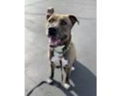 Adopt Bear a Gray/Silver/Salt & Pepper - with White Husky / American Pit Bull