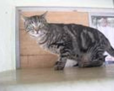Adopt Scooby a Brown Tabby Domestic Shorthair / Mixed (short coat) cat in