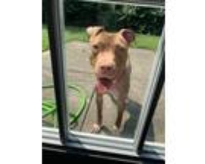 Adopt COOKIE a Brown/Chocolate American Pit Bull Terrier / Mixed dog in Dayton