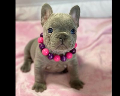 Beautiful Quality French Bulldog Puppies Quad Carriers!.