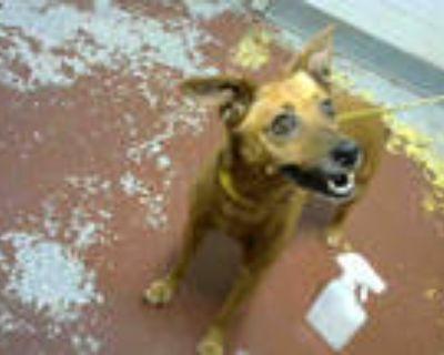Adopt ACORN a Brown/Chocolate Miniature Pinscher / Rat Terrier / Mixed dog in