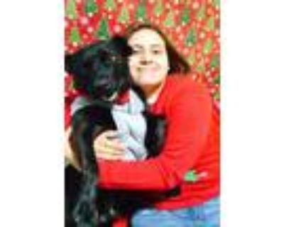 Adopt Fred a Black Labrador Retriever, Pit Bull Terrier