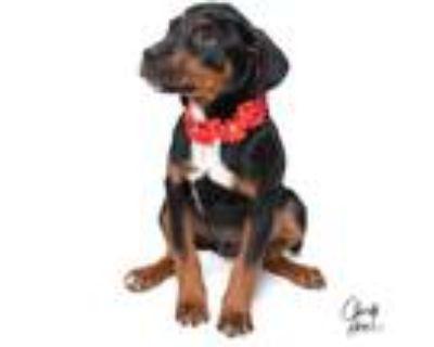 Adopt **Sansa** RESCUE CENTER a Doberman Pinscher / Labrador Retriever dog in