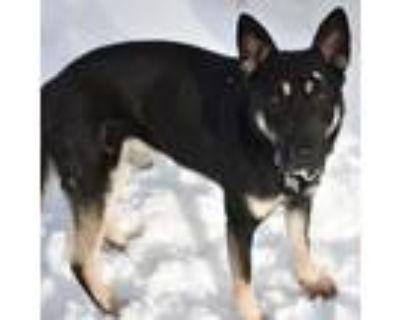 Adopt Snipe a Black - with Tan, Yellow or Fawn German Shepherd Dog / Mixed dog