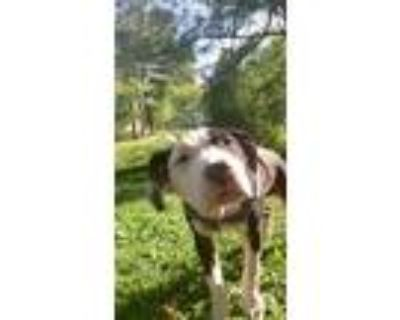 Adopt Zeppelin a Black - with White American Pit Bull Terrier / American Pit