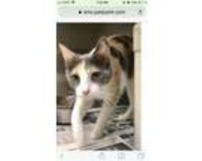 Adopt Juliet a Dilute Calico