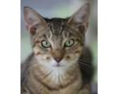 Adopt Rolls Royce a Domestic Shorthair / Mixed (short coat) cat in North Fort