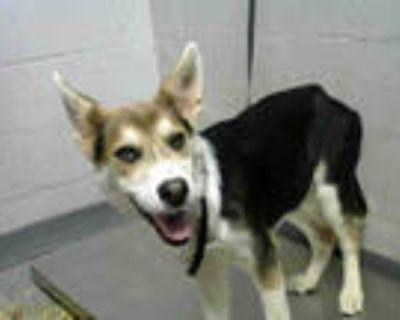 Adopt SCARLET a Tricolor (Tan/Brown & Black & White) Beagle / German Shepherd