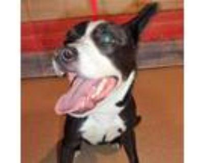 Adopt Valentine a Black Border Collie / Mixed dog in Arlington, TX (31964680)