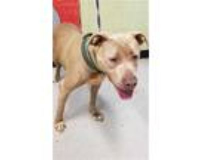 Adopt RUMMY a Tan/Yellow/Fawn - with White American Pit Bull Terrier / Mixed dog