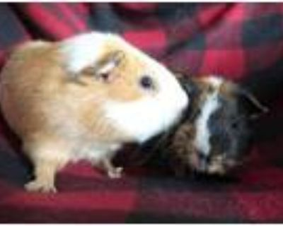 Adopt Kevin a Orange Guinea Pig / Guinea Pig / Mixed small animal in Edmond
