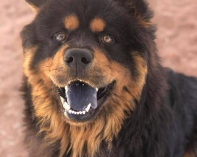 Male Chow Chow / Rottweiler / Mixed named Ransom available for adoption