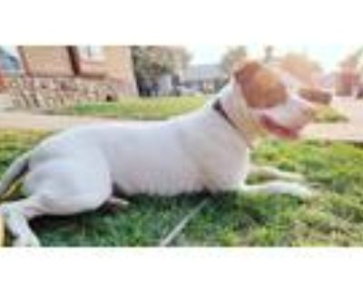 Adopt Kai a White - with Brown or Chocolate American Pit Bull Terrier / Mixed