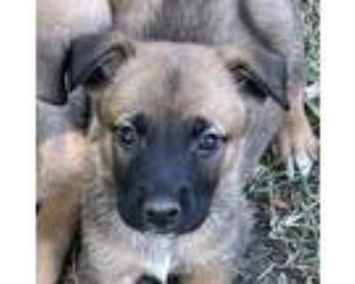 Adopt Trevor a German Shepherd Dog