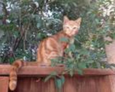 Adopt Freddie a Orange or Red Abyssinian / Mixed (short coat) cat in
