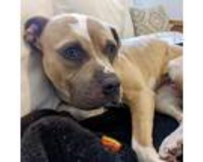 Adopt Wren a Tan/Yellow/Fawn - with White American Pit Bull Terrier / Mixed dog