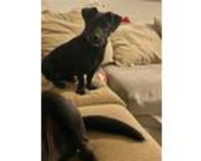 Adopt Florenza a Black Dachshund / Labrador Retriever / Mixed dog in Missouri