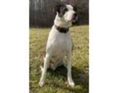 Adopt Ernie a White - with Brown or Chocolate Boxer / Mixed dog in Waldorf