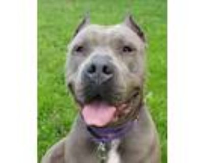 Adopt Teppin a Gray/Silver/Salt & Pepper - with White American Pit Bull Terrier