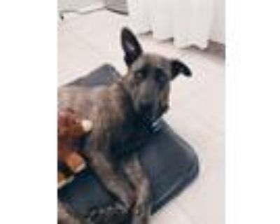 Adopt River a Brindle Dutch Shepherd / Mixed dog in Los Angeles, CA (31239179)