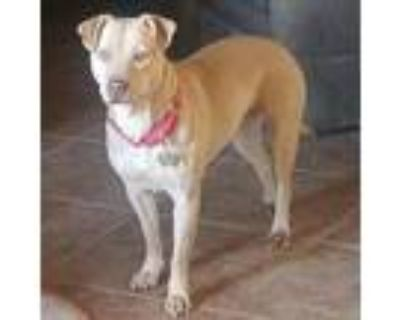 Adopt Arwen a Tan/Yellow/Fawn American Staffordshire Terrier / Chow Chow / Mixed