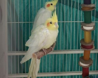Male Cockatiel named Jerry available for adoption