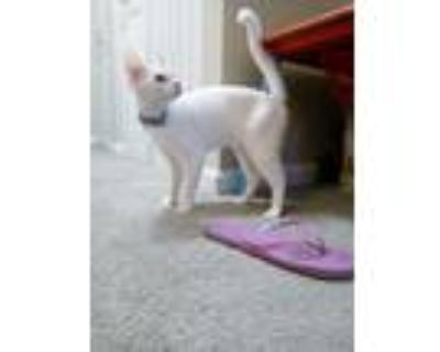 Adopt Diamond a White Domestic Shorthair / Mixed (short coat) cat in Speedway