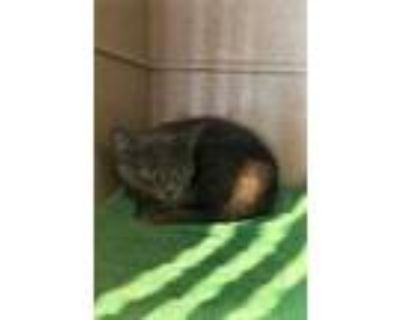 Adopt Cupcake a Gray or Blue Domestic Shorthair / Domestic Shorthair / Mixed cat