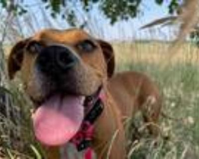 Adopt LUCY a Brown/Chocolate Boxer / American Pit Bull Terrier / Mixed dog in