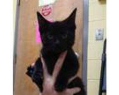 Adopt CALLA a All Black Domestic Shorthair / Mixed (short coat) cat in