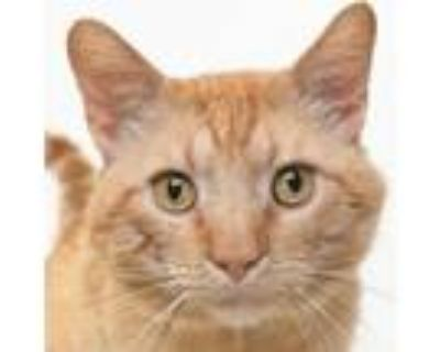 Adopt Ugo a Orange or Red Domestic Shorthair / Mixed cat in Springfield