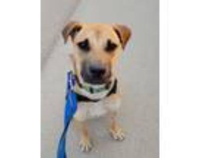 Adopt Daffodill a Tan/Yellow/Fawn - with Black Shepherd (Unknown Type) dog in