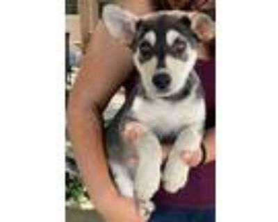 Adopt Tory a Gray/Silver/Salt & Pepper - with White Shepherd (Unknown Type) /