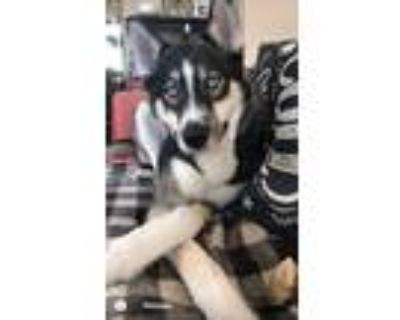 Adopt Duke a Gray/Silver/Salt & Pepper - with White Husky / Mixed dog in