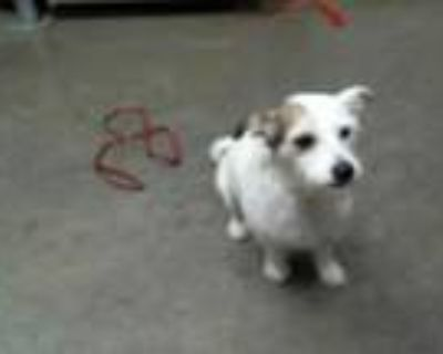 Adopt MARSHA a Parson Russell Terrier, Mixed Breed