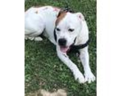 Bully, American Pit Bull Terrier For Adoption In Union, West Virginia