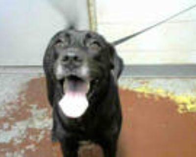 Adopt EMI a Black Labrador Retriever / Mixed dog in Atlanta, GA (32086450)