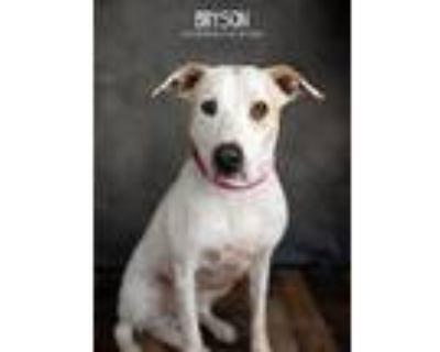 Adopt Bryson a Tricolor (Tan/Brown & Black & White) Labrador Retriever dog in