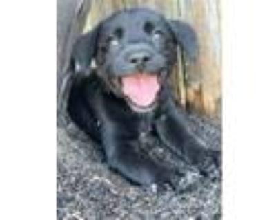 Adopt Boom Boom a Rat Terrier, Labrador Retriever
