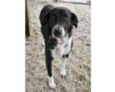 Adopt Estella a Labrador Retriever, Mixed Breed