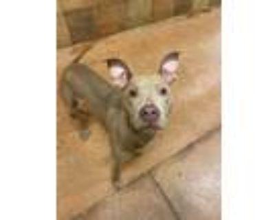 Adopt Khepri +PUPPY+ a Tan/Yellow/Fawn American Pit Bull Terrier / Weimaraner /