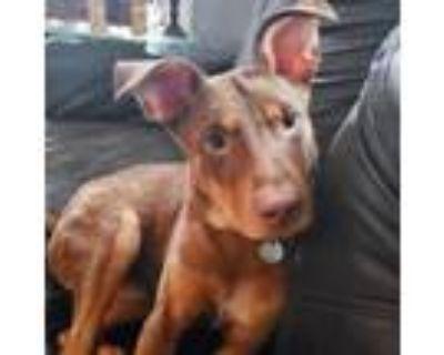 Adopt Reese a Doberman Pinscher