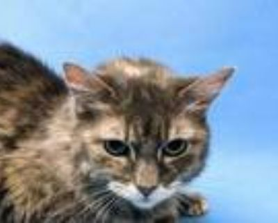 Adopt Melissa a Gray or Blue Domestic Longhair / Domestic Shorthair / Mixed cat