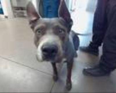 Adopt SPLINTER a Pit Bull Terrier