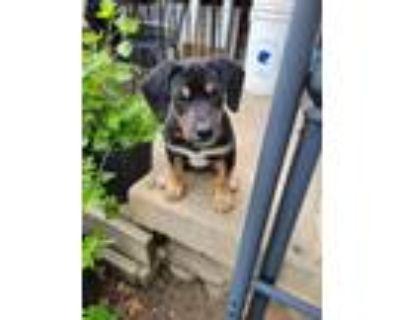 Adopt Earl a Pointer, Beagle