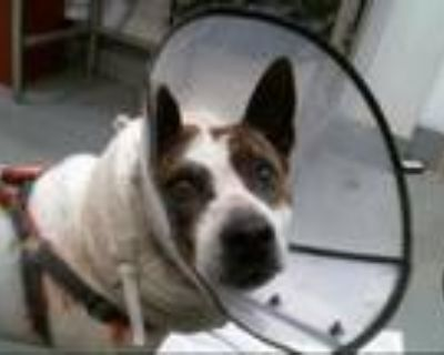 Adopt TRIXIE a Pit Bull Terrier, Mixed Breed