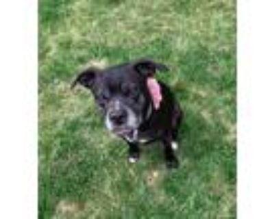 Adopt Princess a Pit Bull Terrier