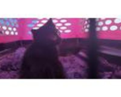 Adopt PAWSION a All Black Domestic Shorthair / Mixed (short coat) cat in