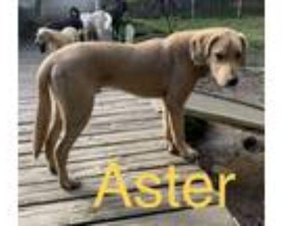 Adopt Aster a Labrador Retriever