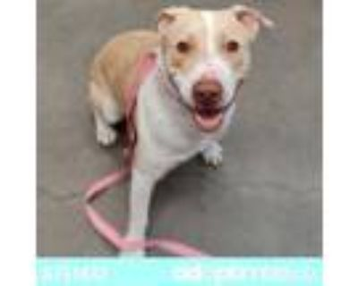 Adopt INDY* a Pit Bull Terrier, Mixed Breed